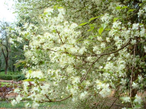 Embora, seja uma árvore nativa da Mata Atlântica brasileira, a pitangueira viaja o mundo e é encontrada na Europa, África, Caribe, América do Norte, América Central, e aqui, em vários países da América do Sul.