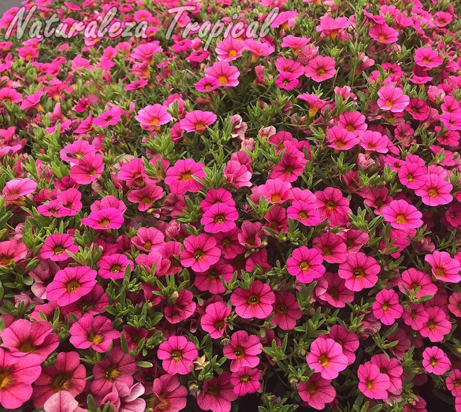 Floración exuberante de un cultivar del género Calibrachoa