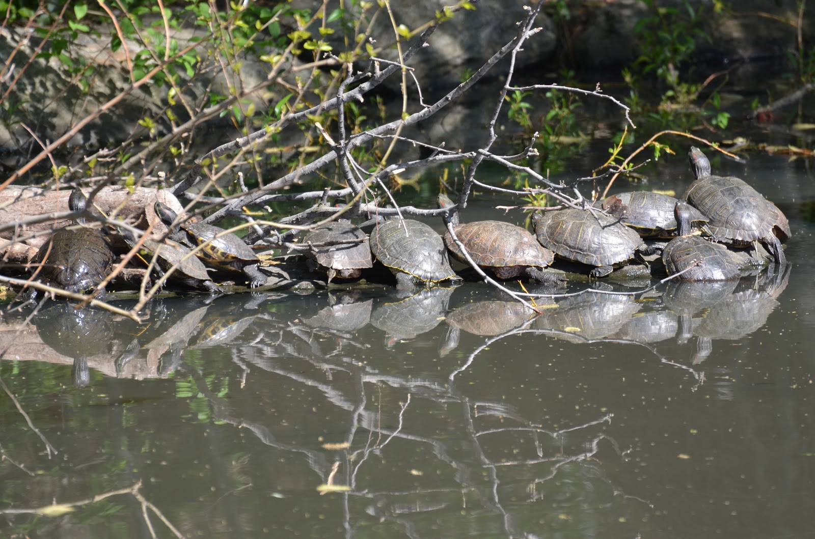 Red eared slider turtle essay - Research paper Sample