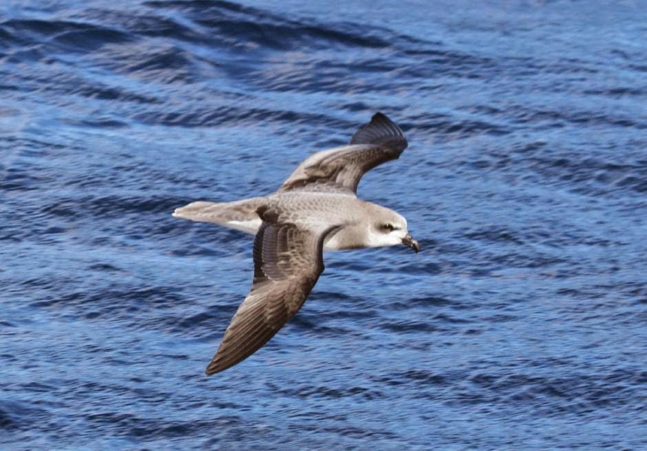 aves marinas argentinas Petrel de collar gris