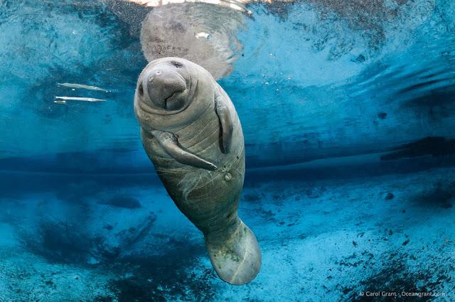 Swimming Florida Manatee