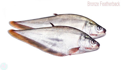 Bronze featherback fish, ফলি মাছ