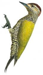 Campethera maculosa