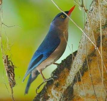 Gembala News Cara Merawat Burung Rambatan Jantan