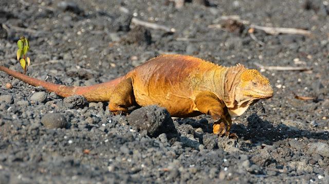 Urbina Bay Galapagos land iguana