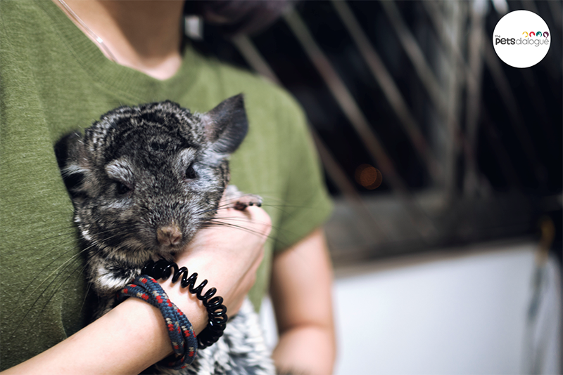 Cute Chinchilla Photos