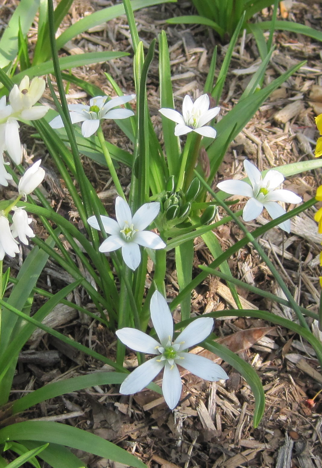 Star-of-Bethlehem Discovered In Woodland Follies