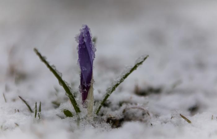 valkoinen kukka nuppu nupullaan krookus kevät