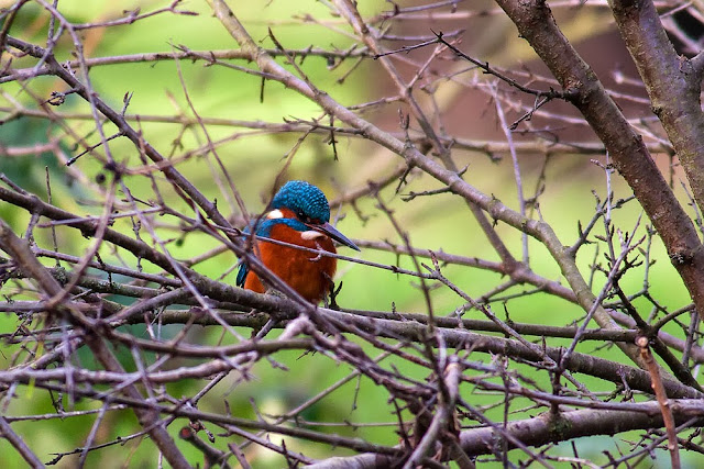 Common Kingfisher, the river this was taken on runs along side an industrial estate in the heart of Milton Keynes.