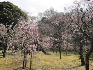 Sakuras...