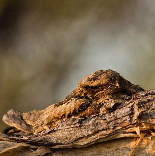 Indian birds - Photo of Large-tailed nightjar - Caprimulgus macrurus
