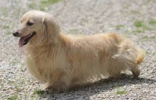 Longhaired English Cream Doxie
