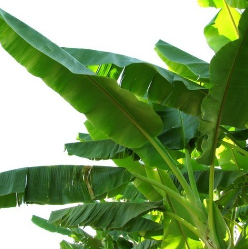 These Are The Benefits Of Eating On Banana Leaves You Should Know!