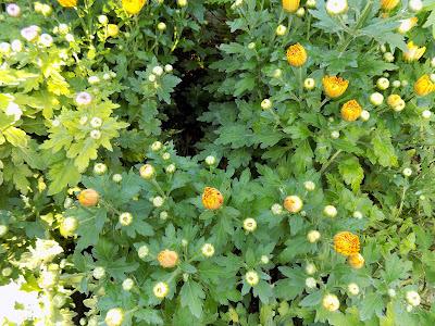 Χρυσάνθεμο-πολλαπλασιασμός καλλιέργεια
