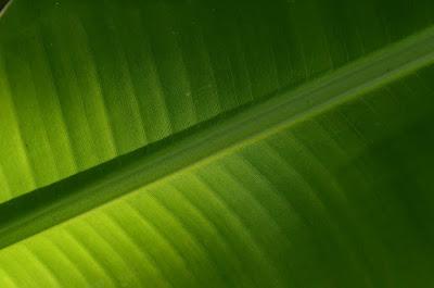 foto daun pisang Persamaan Belajar Blog dengan Belajar Fotografi - part #2