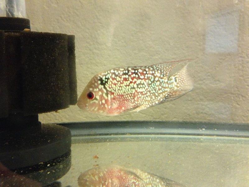 Ciri-Ciri Ikan Sakit Ekor Menguncup