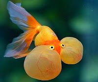 Bubble Eye/Suihogan Goldfish