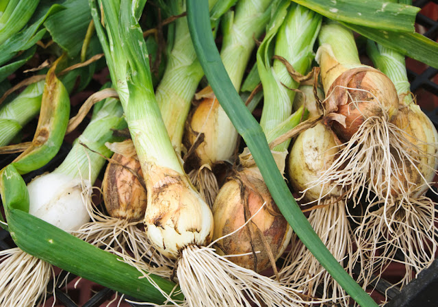 leek with roots