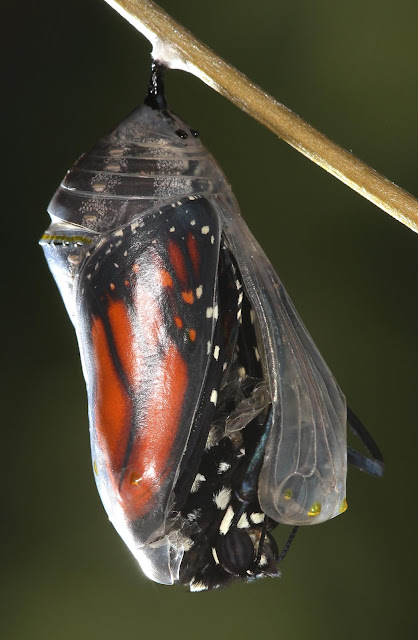 Red and the Peanut: Monarch butterfly—from chrysalis to ...