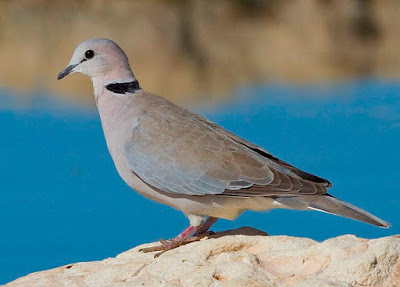dove, symbol of peace