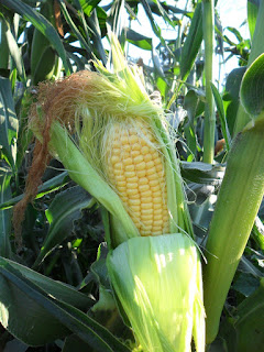 Созревший кукурузный початок