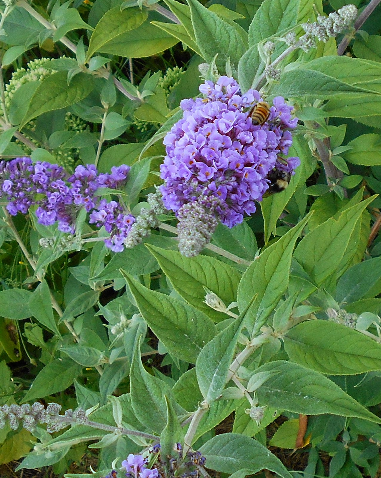 Growing Greener In The Pacific Northwest Buddleia Blue Chip 81314