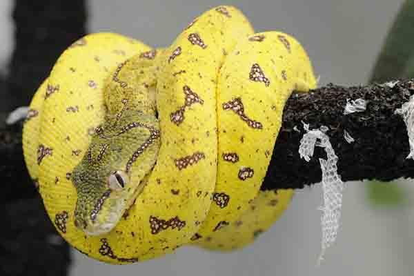 Small Animal Talk: World's cutest python - photo#31