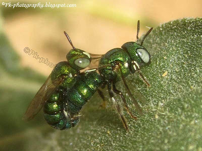 Cuckoo Wasps Mating Picture