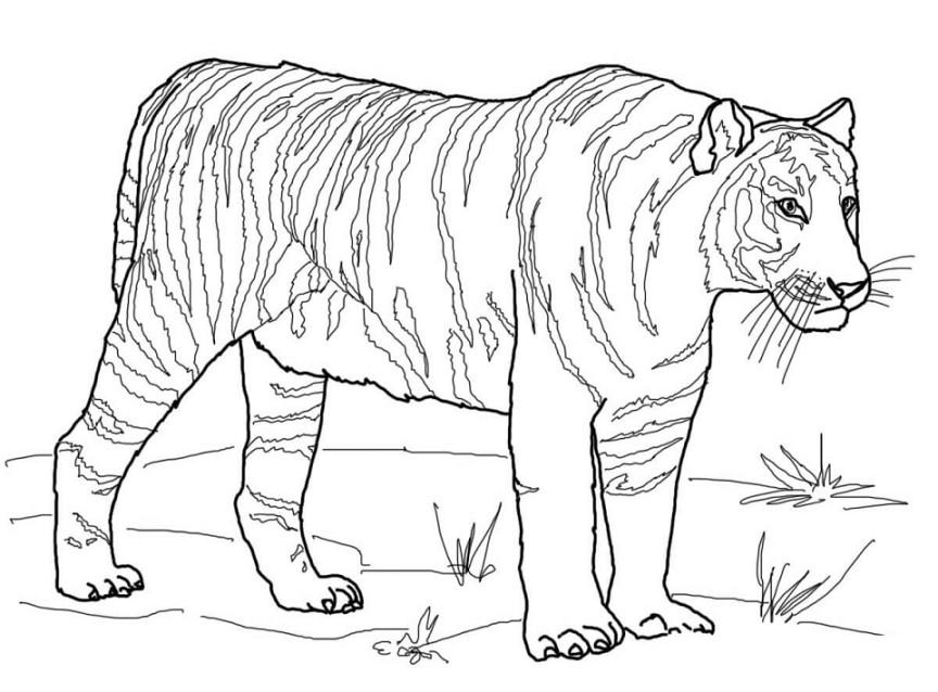 Gambar Mewarnai Harimau Terbaru Gambarcoloring