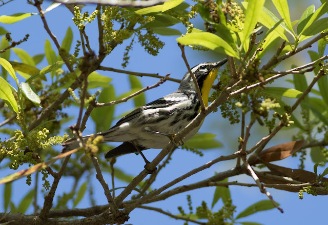 Yellow-throated Warbler - Merritt Island, Florida