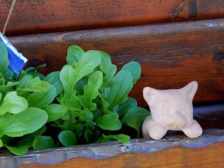 Salat selbst angebaut