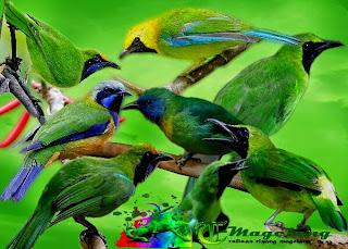 Download mp3 suara burung cucak ijo / hijau untuk masteran | cara.