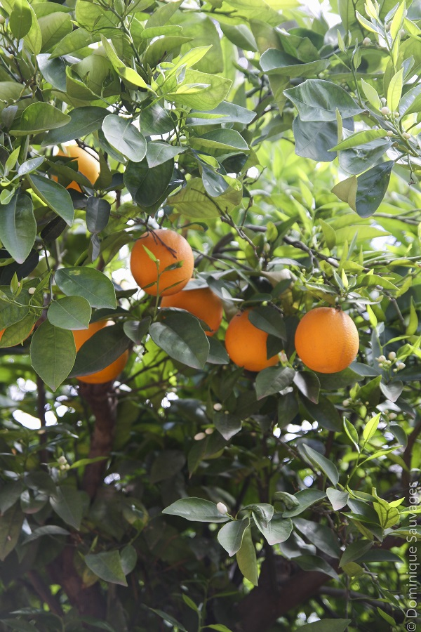 marrakech_mamounia_jardin_oranger