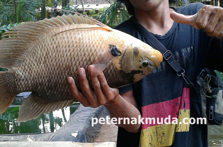 Tutorial Dan Cara Beternak Ikan Guramih Osphronemus Gouramy
