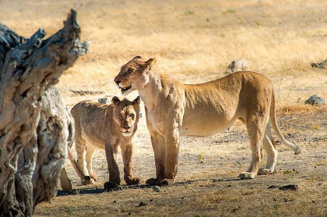 Safari im Selous-Wildreservat, (c) Heinz Henninger, Auto Touring