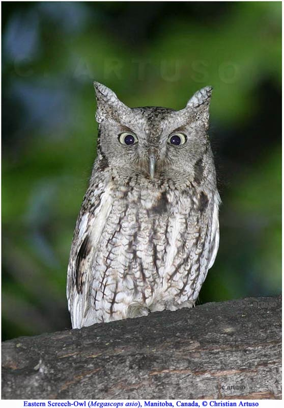 Christian Artuso: Birds, Wildlife: SIGNS OF STRESS IN OWLS - photo#5
