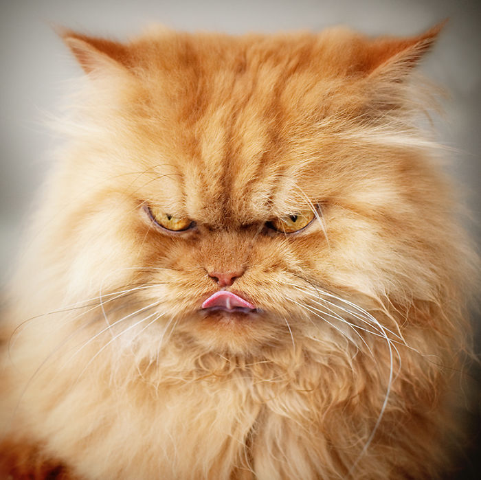 garfi-evil-grumpy-persian-cat-11