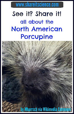 porcupines facts learning