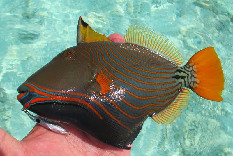 Undulate Trigger A beautiful undulateUndulate Triggerfish