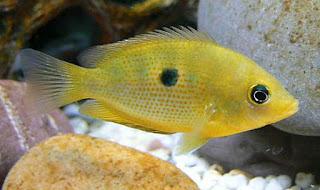 Etroplus maculatus - Orange chromide - Kaha koraliya/කහ කොරලියා
