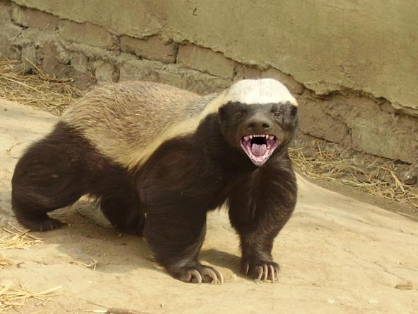 external picture of honey badger