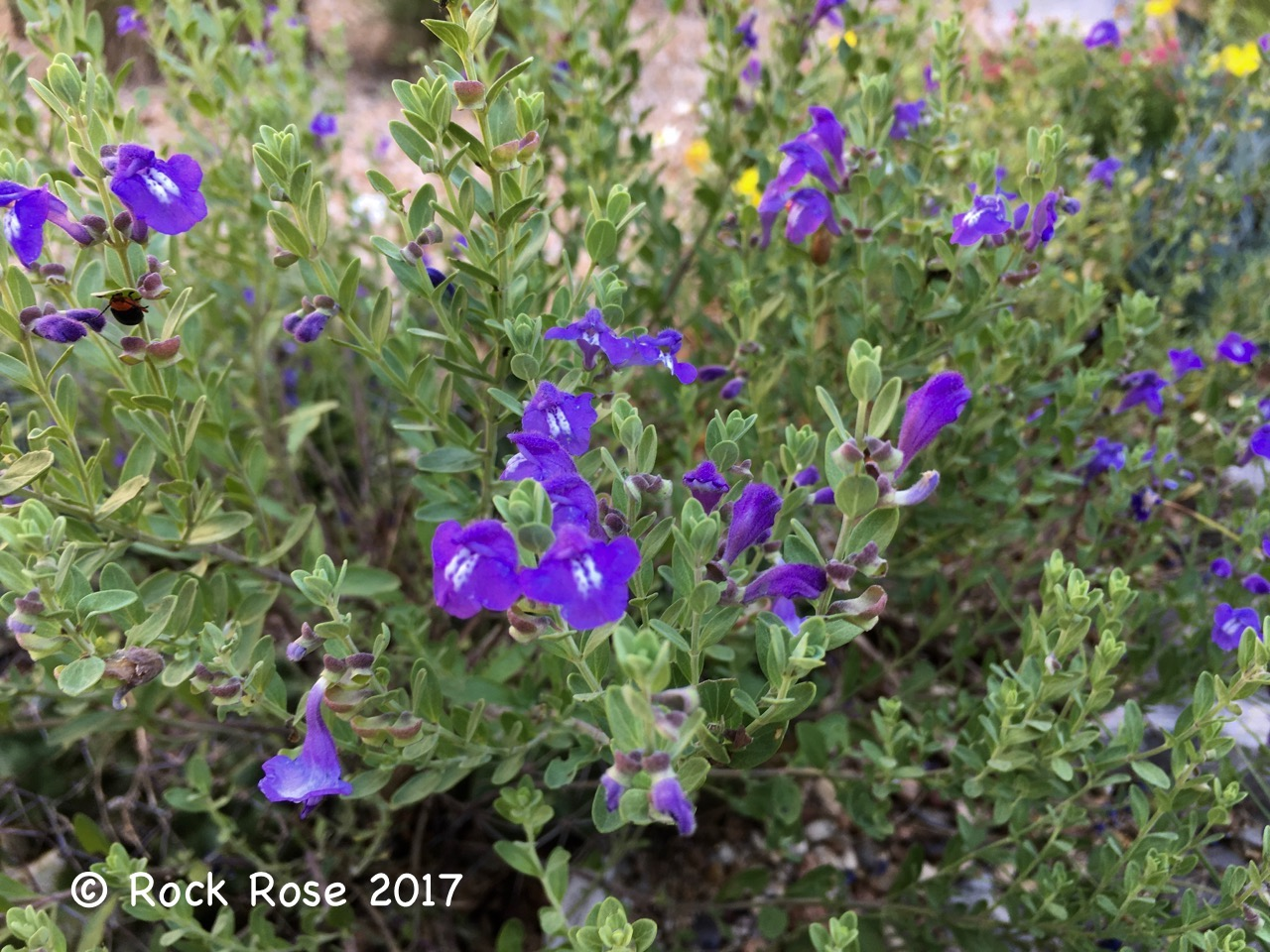 rock rose: garden bloggers' bloom day, may 2017