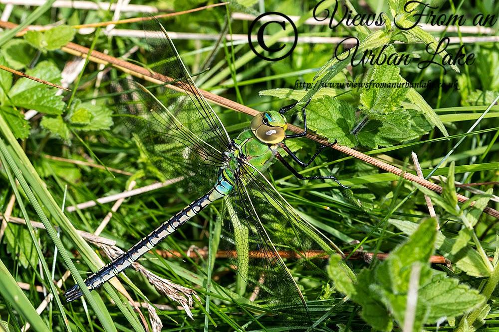 Emperor Dragonfly - Loughton Valley Park, Milton Keynes
