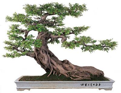 cara membuat tanaman bonsai