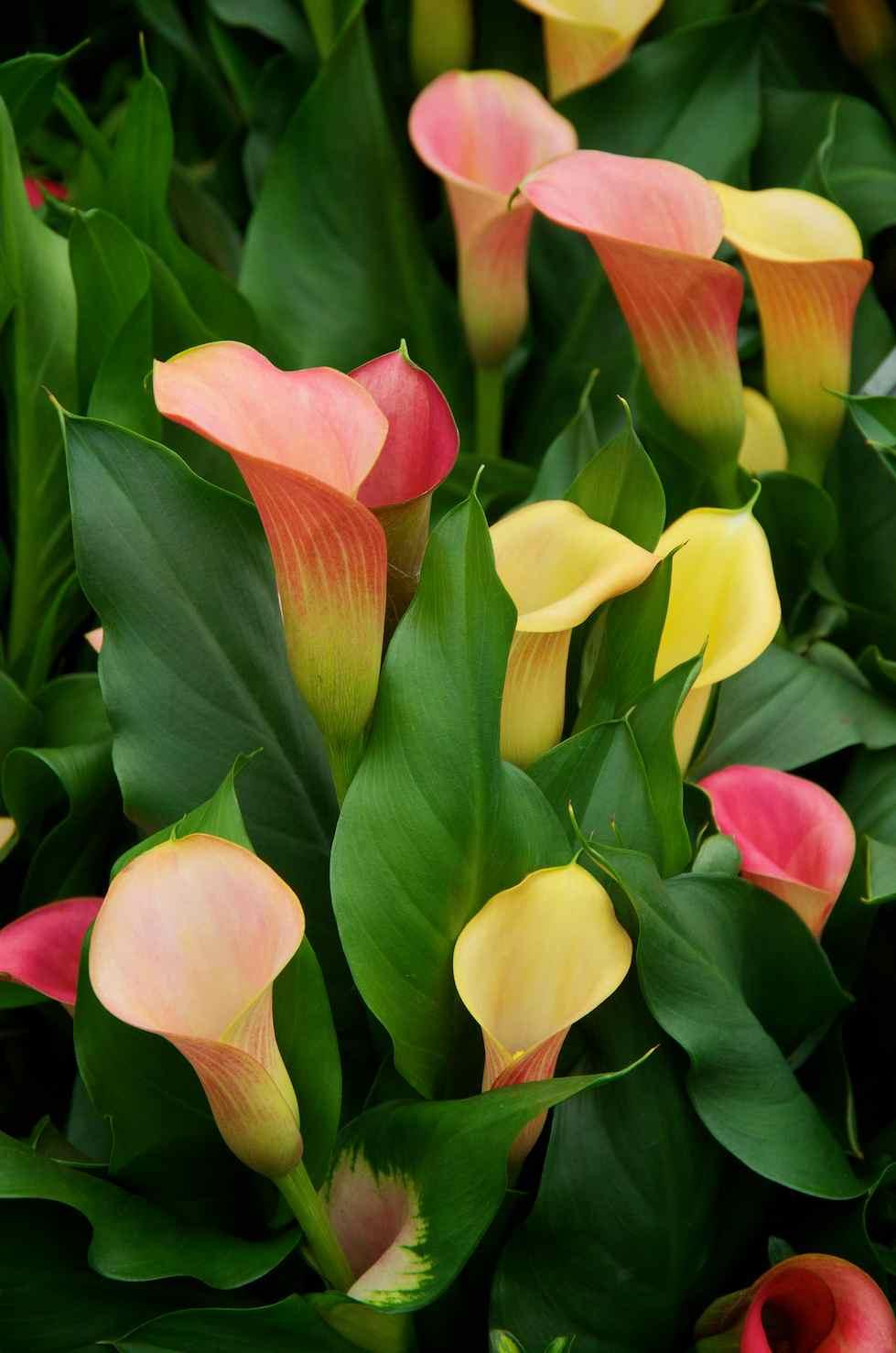 photographer 39 s garden zantedeschia or arum lily. Black Bedroom Furniture Sets. Home Design Ideas