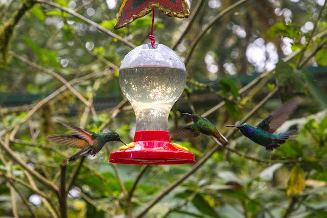 Colibríes en Monteverde, Costa Rica
