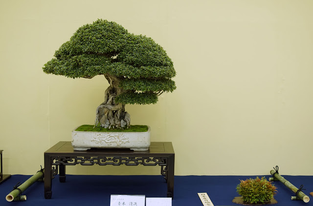 Epic Bonsai on display at Taikan Ten exhibition in Kyoto Japan
