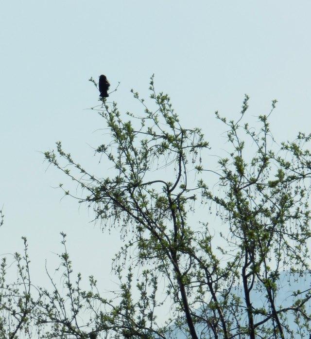 black bird on a ranch in Spring: grow creative blog