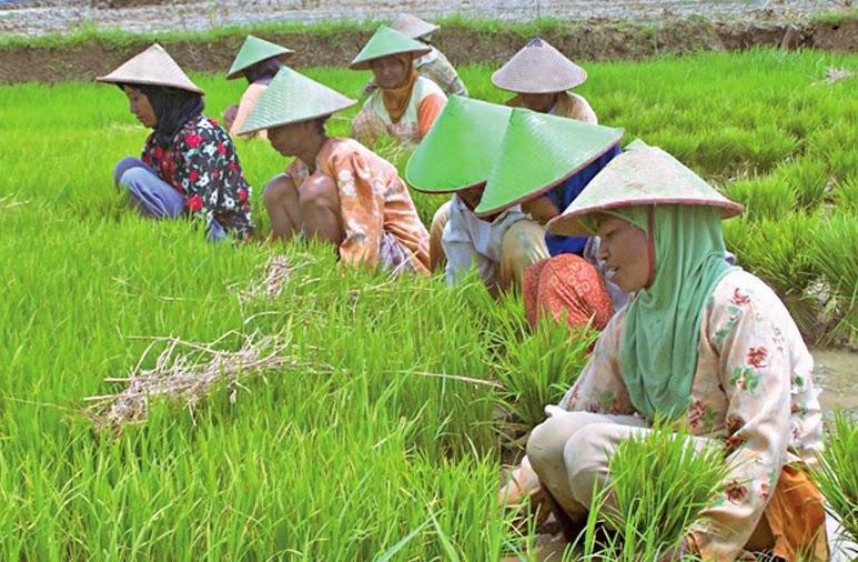 Petani Blora Meningkatkan Hasil Panen Padi Sawah Jadi Khusus Bagi