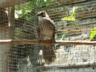Burung Cucak Rowo - Mengetahui Kelas Suara Sedang Burung Cucak Rowo  Semi Roppel atau Semi Rovel dan Double Slah - Penangkaran Burung Cucak Rowo